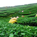 Tea Cities of India